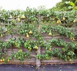 Use espalier along drvieway to grow fruit trees