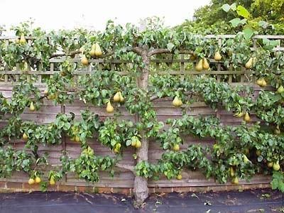 Fruit Trees In Winter In Melbourne Pruning Planting And