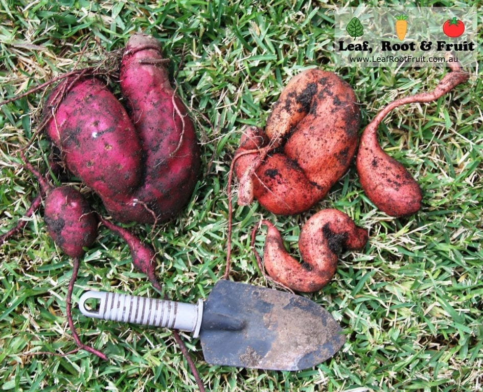 how to grow sweet potatoes in melbourne