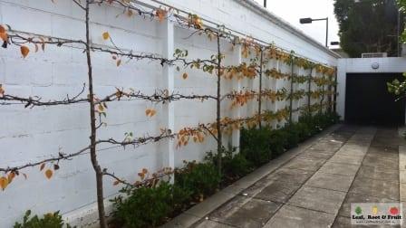 Fruit Tree Pruning Esplaier Service Melbourne Toorak