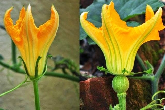 Pumpkin flowers - Leaf...