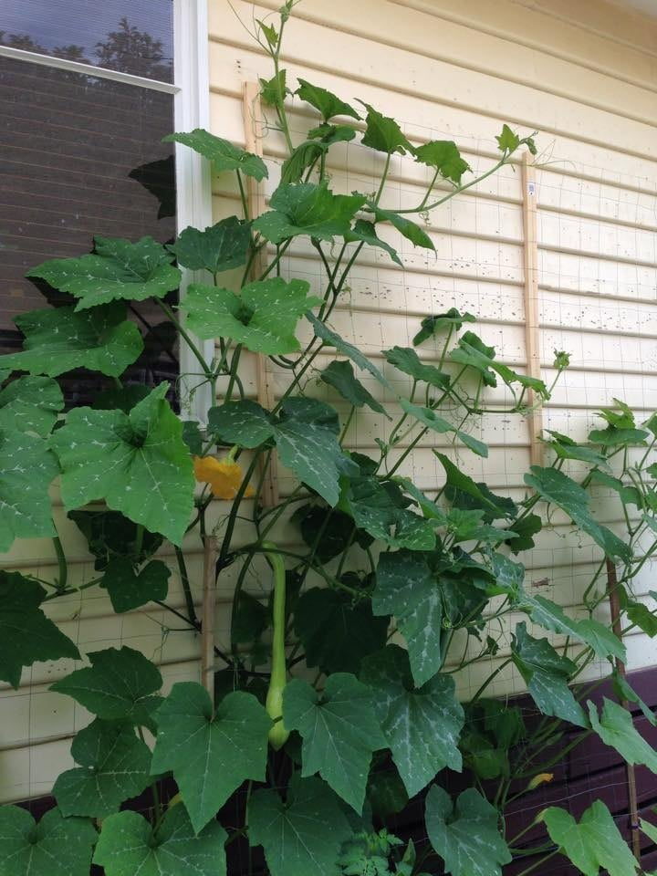 Vertical gardening zucchini tromboncino