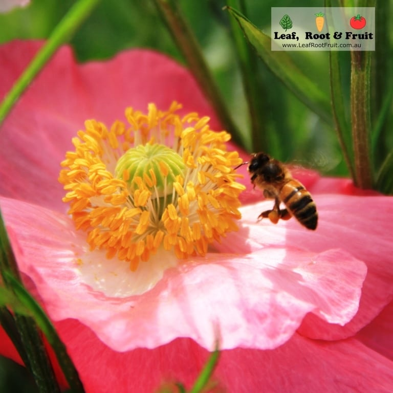 Bee hovering over a pink poppy
