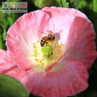 Bee on a pink poppy