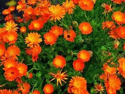Calendula is great for attracting pollinators