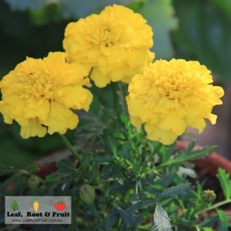 Companion planting and marigolds