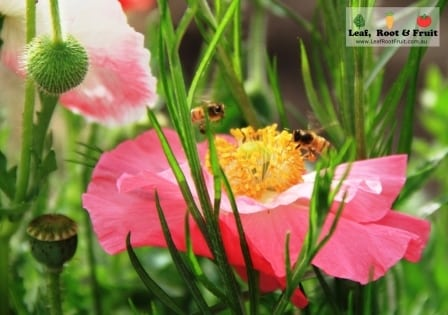 Pink poppies with leaves and bees