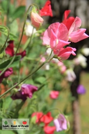 Sweet Peas are great for encouraging pollinators such as bees in spring