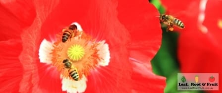 Three bees at a red poppy