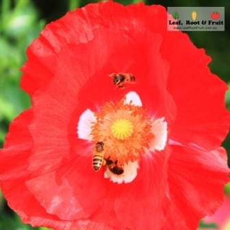 Two bees hovering over a red poppy