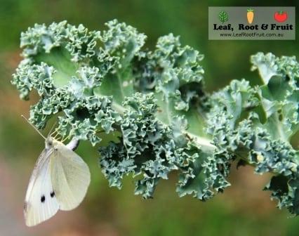 Autumn planting melbourne white cabbage moth
