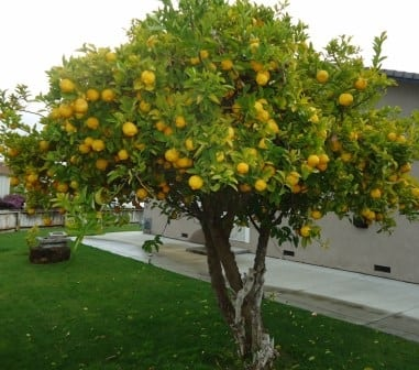 Citrus Growing Guide Part 3 Ongoing Care And Management Of Citrus Trees Leaf Root Fruit Gardening Services