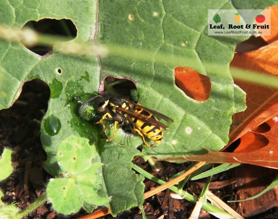 European Wasp Melbourne