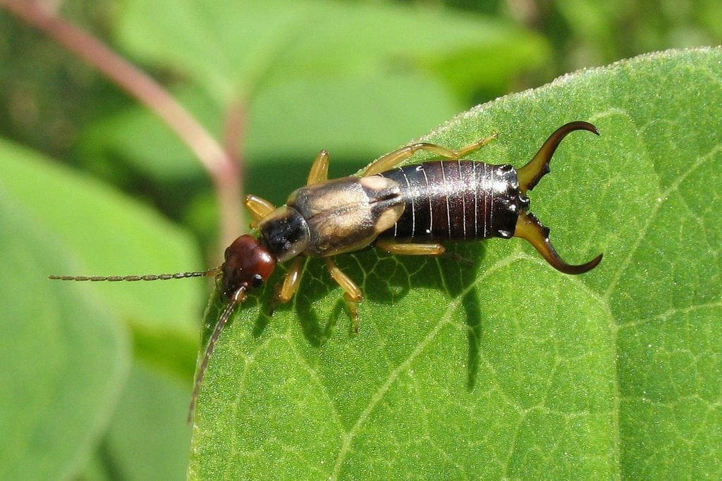 How to control earwigs in the garden - Leaf, Root & Fruit Gardening ...