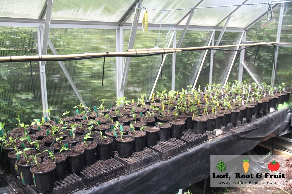 Potting Mix Experiment In The Greenhouse Leaf Root