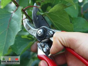 Fruit Tree Pruning Kyneton